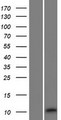 RIIAD1 Protein - Western validation with an anti-DDK antibody * L: Control HEK293 lysate R: Over-expression lysate