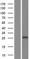 RNF186 Protein - Western validation with an anti-DDK antibody * L: Control HEK293 lysate R: Over-expression lysate