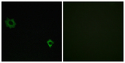 RPL34 / Ribosomal Protein L34 Antibody - Immunofluorescence analysis of HUVEC cells, using RPL34 Antibody. The picture on the right is blocked with the synthesized peptide.