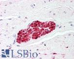 Anti-S100 Protein antibody IHC of human prostate, nerve. Immunohistochemistry of formalin-fixed, paraffin-embedded tissue after heat-induced antigen retrieval. Antibody LS-B47 concentration 5 ug/ml.