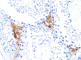 S100A10 Antibody - Immunohistochemistry of paraffin-embedded mouse testis using S100A10 antibody at dilution of 1:100 (40x lens).