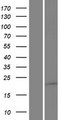 SAMD10 Protein - Western validation with an anti-DDK antibody * L: Control HEK293 lysate R: Over-expression lysate