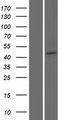 SAXO2 / FAM154B Protein - Western validation with an anti-DDK antibody * L: Control HEK293 lysate R: Over-expression lysate