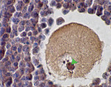 SCP1 / SYCP1 Antibody - Punctate staining of murine SCP1 in mouse ovary using Synaptonemal Complex Protein 1 Antibody (SCP1 Antibody).  This image was taken for the unconjugated form of this product. Other forms have not been tested.
