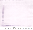 SDF1 / CXCL12 Antibody - Anti-Murine SDF-1a (CXCL12) Western Blot Unreduced