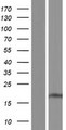 SFT2D1 Protein - Western validation with an anti-DDK antibody * L: Control HEK293 lysate R: Over-expression lysate
