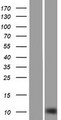 SH3BGRL2 Protein - Western validation with an anti-DDK antibody * L: Control HEK293 lysate R: Over-expression lysate