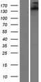 SH3TC1 Protein - Western validation with an anti-DDK antibody * L: Control HEK293 lysate R: Over-expression lysate
