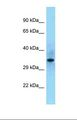 SHF Antibody - Western blot of Human 293T . SHF antibody dilution 1.0 ug/ml.  This image was taken for the unconjugated form of this product. Other forms have not been tested.
