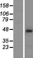SHFM3 / FBXW4 Protein - Western validation with an anti-DDK antibody * L: Control HEK293 lysate R: Over-expression lysate
