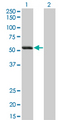 SIGLEC6 Antibody - Western Blot analysis of SIGLEC6 expression in transfected 293T cell line by SIGLEC6 monoclonal antibody (M02), clone 2G6.Lane 1: SIGLEC6 transfected lysate(48.3 KDa).Lane 2: Non-transfected lysate.