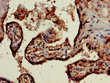 Immunohistochemistry of paraffin-embedded human placenta tissue using CSB-PA021357LA01HU at dilution of 1:100