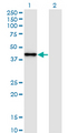 Western Blot analysis of SNAPC2 expression in transfected 293T cell line by SNAPC2 monoclonal antibody (M01), clone 4B8.Lane 1: SNAPC2 transfected lysate (Predicted MW: 35.6 KDa).Lane 2: Non-transfected lysate.