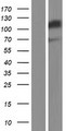 Western validation with an anti-DDK antibody * L: Control HEK293 lysate R: Over-expression lysate
