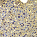 SORT1 / Sortilin Antibody - Immunohistochemistry of paraffin-embedded mouse liver using SORT1 antibody at dilution of 1:100 (40x lens).