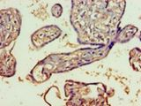 Immunohistochemistry of paraffin-embedded human placenta tissue using antibody at 1:100 dilution.  This image was taken for the unconjugated form of this product. Other forms have not been tested.