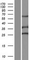 SPEF2 Protein - Western validation with an anti-DDK antibody * L: Control HEK293 lysate R: Over-expression lysate