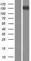 SPOCD1 Protein - Western validation with an anti-DDK antibody * L: Control HEK293 lysate R: Over-expression lysate