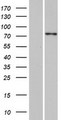SPTY2D1 Protein - Western validation with an anti-DDK antibody * L: Control HEK293 lysate R: Over-expression lysate
