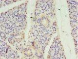 Immunohistochemistry of paraffin-embedded human pancreas tissue using antibody at 1:100 dilution.  This image was taken for the unconjugated form of this product. Other forms have not been tested.
