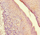 Immunohistochemistry of paraffin-embedded human tonsil tissue at dilution of 1:100