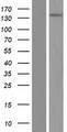SYDE2 Protein - Western validation with an anti-DDK antibody * L: Control HEK293 lysate R: Over-expression lysate