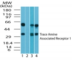 TAAR1 / TA1 Antibody - Western blot ofhumanTAAR1 in human brain lysate in the 1) absence and 2) presence of immunizing peptide, 3) mouse brain lysate and 4) rat brain lysate using antibody at 2 ug/ml.