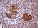 IHC of paraffin-embedded Human pancreas tissue using anti-TACC1 mouse monoclonal antibody. (Heat-induced epitope retrieval by 1 mM EDTA in 10mM Tris, pH8.5, 120°C for 3min).