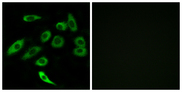 Immunofluorescence analysis of A549 cells, using TAS2R3 Antibody. The picture on the right is blocked with the synthesized peptide.