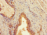 Immunohistochemistry of paraffin-embedded human prostate tissue at dilution 1:100