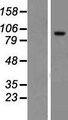TCAF2 / FAM115C Protein - Western validation with an anti-DDK antibody * L: Control HEK293 lysate R: Over-expression lysate