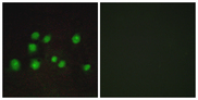 TCEB3B / Elongin A2 Antibody - Immunofluorescence analysis of A549 cells, using ELOA2 Antibody. The picture on the right is blocked with the synthesized peptide.