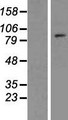 TCEB3B / Elongin A2 Protein - Western validation with an anti-DDK antibody * L: Control HEK293 lysate R: Over-expression lysate