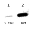 Detection of TetR protein.  This image was taken for the unconjugated form of this product. Other forms have not been tested.