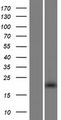 THAP3 Protein - Western validation with an anti-DDK antibody * L: Control HEK293 lysate R: Over-expression lysate