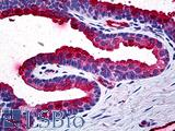 Anti-TIMP2 antibody IHC of human prostate. Immunohistochemistry of formalin-fixed, paraffin-embedded tissue after heat-induced antigen retrieval. Antibody concentration 5 ug/ml.
