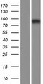 TMC1 Protein - Western validation with an anti-DDK antibody * L: Control HEK293 lysate R: Over-expression lysate