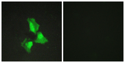 Immunofluorescence analysis of HepG2 cells, using TNAP3 Antibody. The picture on the right is blocked with the synthesized peptide.
