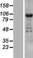 TNRC6B Protein - Western validation with an anti-DDK antibody * L: Control HEK293 lysate R: Over-expression lysate
