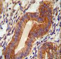 TPGS2 antibody immunohistochemistry of formalin-fixed and paraffin-embedded human uterus tissue followed by peroxidase-conjugated secondary antibody and DAB staining.