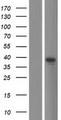 TRIM16L Protein - Western validation with an anti-DDK antibody * L: Control HEK293 lysate R: Over-expression lysate