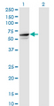 TRIM26 Antibody - Western Blot analysis of TRIM26 expression in transfected 293T cell line by TRIM26 monoclonal antibody (M01), clone 1G3.Lane 1: TRIM26 transfected lysate (Predicted MW: 62.2 KDa).Lane 2: Non-transfected lysate.