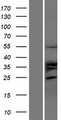 TRIM35 Protein - Western validation with an anti-DDK antibody * L: Control HEK293 lysate R: Over-expression lysate