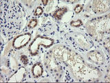 IHC of paraffin-embedded Human Kidney tissue using anti-TRIM38 mouse monoclonal antibody.