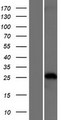 TRIM40 Protein - Western validation with an anti-DDK antibody * L: Control HEK293 lysate R: Over-expression lysate