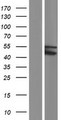 TRIM49C Protein - Western validation with an anti-DDK antibody * L: Control HEK293 lysate R: Over-expression lysate
