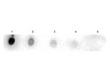 Trypsinogen Antibody - Dot Blot results of rabbit Anti-Trypsin Peroxidase Conjugated. Antigen: Trypsin. Blot loaded at 3 fold dilution: 1. 100ng, 2. 33.3ng, 3. 11.1ng, 4. 3.70ng, 5. 1.23ng. Blocking: MB-070 Buffer for 30 minutes at RT. Primary Antibody: Rabbit Anti-Trypsin HRP 10µg/mL for 1hr at RT. Secondary Antibody: none. Imaging System ChemiDoc, Filter used: Chemi.