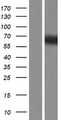 TSKS Protein - Western validation with an anti-DDK antibody * L: Control HEK293 lysate R: Over-expression lysate