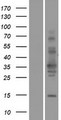 TSPAN11 Protein - Western validation with an anti-DDK antibody * L: Control HEK293 lysate R: Over-expression lysate