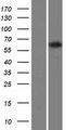 TTC24 Protein - Western validation with an anti-DDK antibody * L: Control HEK293 lysate R: Over-expression lysate